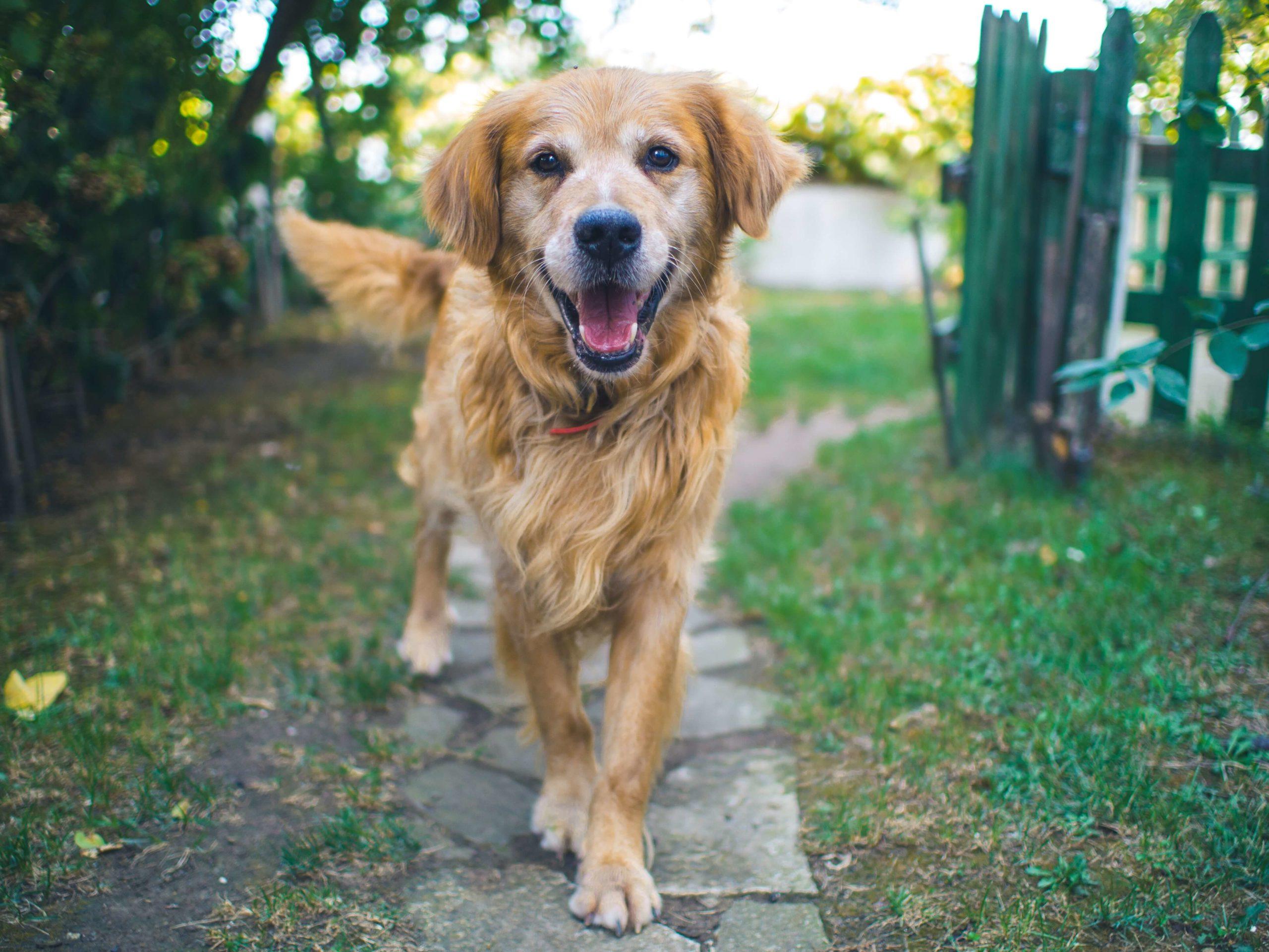 chien qui arrive de face et peut impressionner un enfant