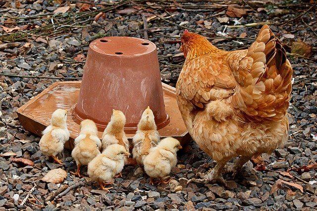type de parent protecteur maman poule